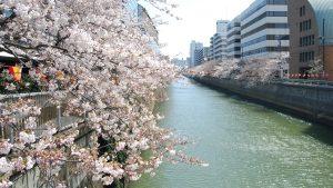 目黒川 桜 ジム